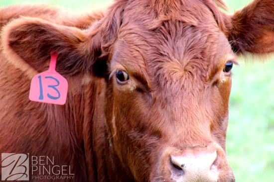 BenPingel-Cow_Stare