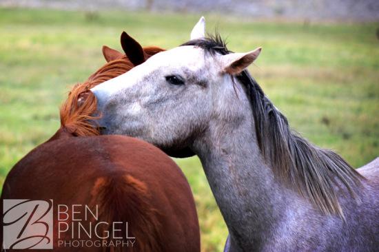 BenPingel-Horse_Snuggle