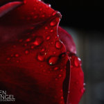 BenPingel-Rose-Unedited